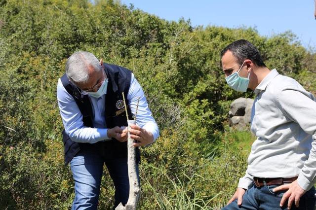 Yabani Zeytin Ağaçları Aşılanarak Ekonomiye Kazandırılıyor
