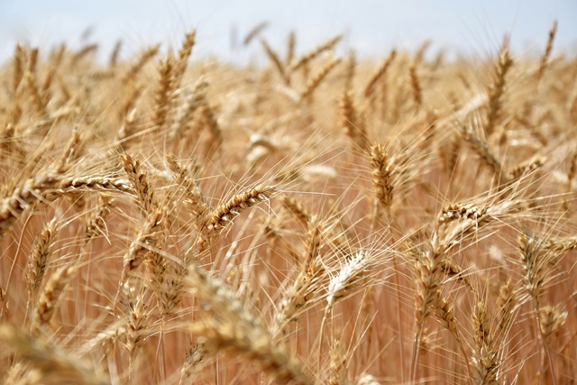 """Korkut: """"Sürdürülebilir bir üretim için buğday taban fiyatı en az 2,57 TL olmalı"""""""