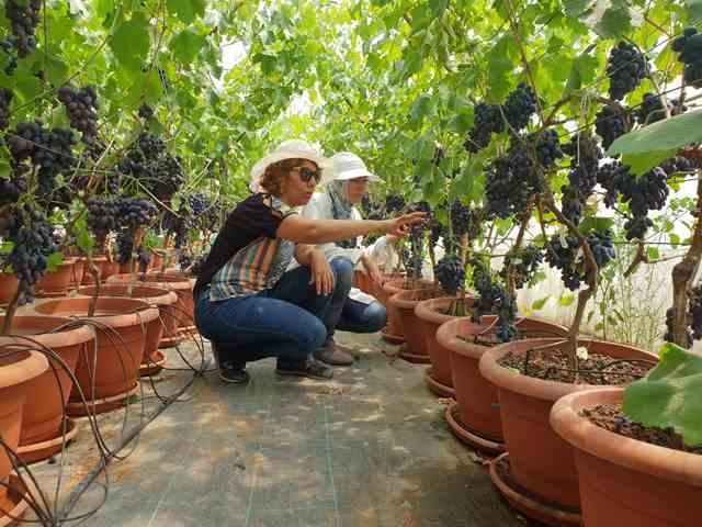 ÇÜ'de Topraksız Yetiştirilen Üzümler Hasat Edildi