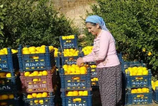 Tarım işçilerinin limon mesaisi