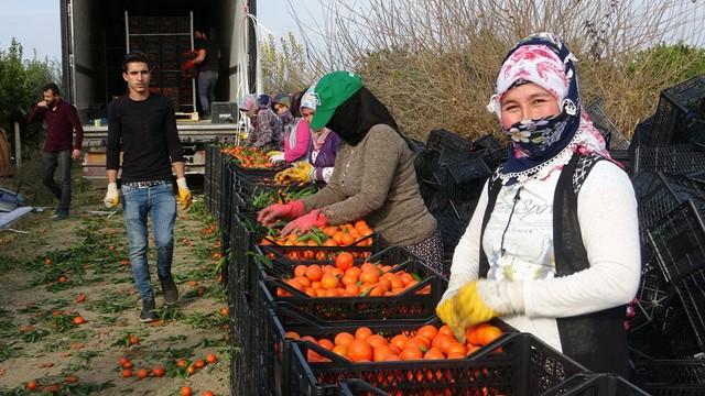 Kozan portakalının hasadına kurban kesilerek başlandı