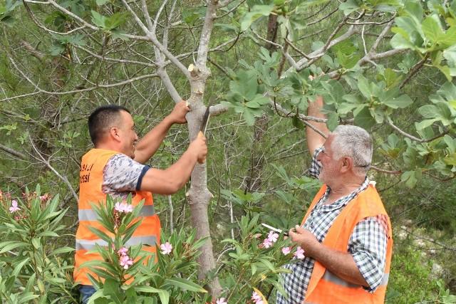 Karaisalı'da yabani incir ağaçları aşılanıyor