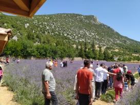 Lavanta bahçelerine ziyaretçi akını